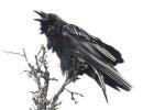 Yukon raven by gavatron