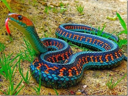 gartersnake