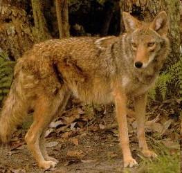 Coy Wolf