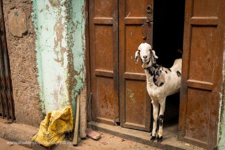 Damzen+Lane+Goat