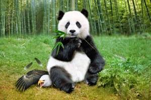 panda eagle