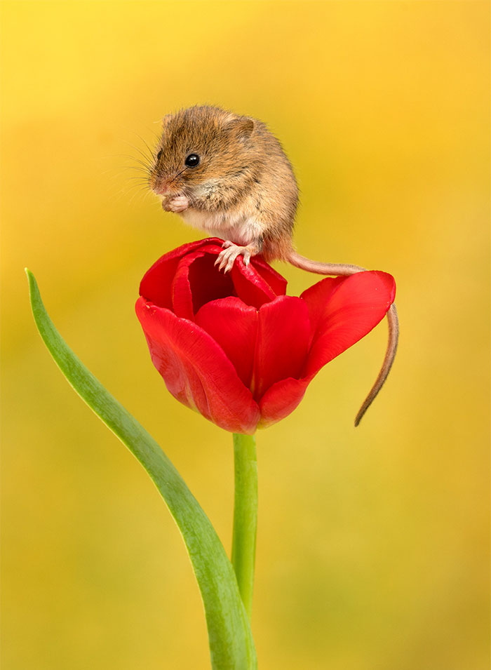 Cute harvest mice among the tulips | Phil Ebersole's Blog